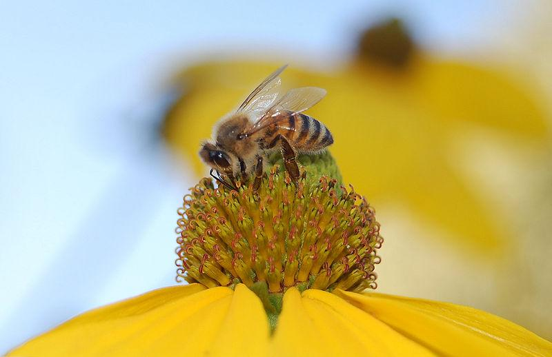 Colony collapse is threatening bees.