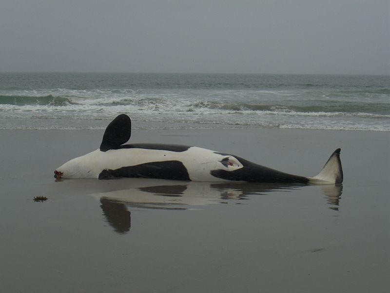 There is an investigation into an orca that washed onto a Washington beach..