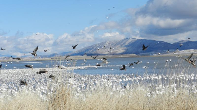 Thousands of geese migrate through Klamath Falls each year.