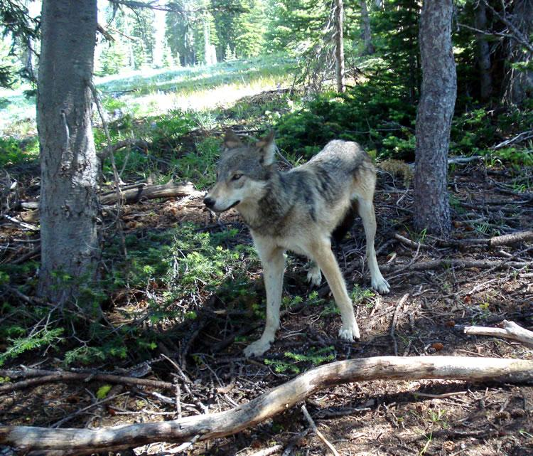 Yearling wolf from the Lookout Pack in Okanogan County