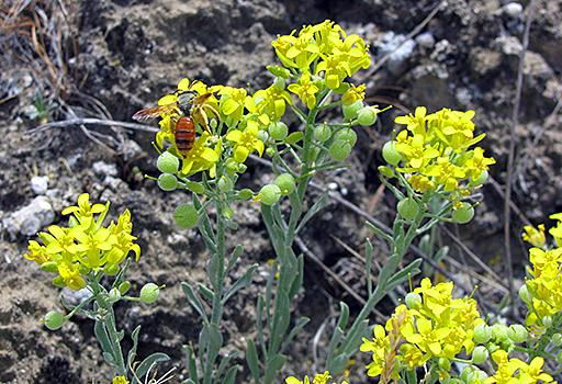 The White Bluffs bladderpod is a small plant growing on a tiny strip of Washington land.  It's the focus of a big fight between farmers and the federal government.  And there's still a lot scientists don't know about the plant.