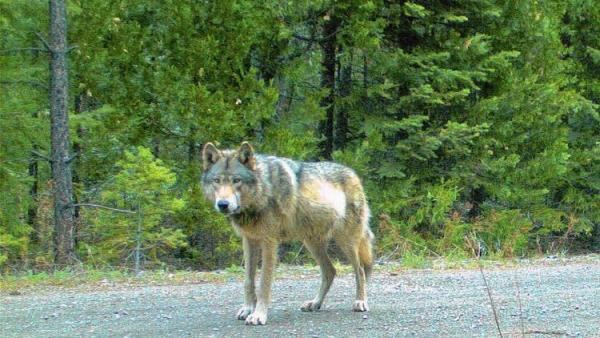 The wolf designated by researchers as OR-7, caught on remote camera in southwest Oregon on May 3, 2014.