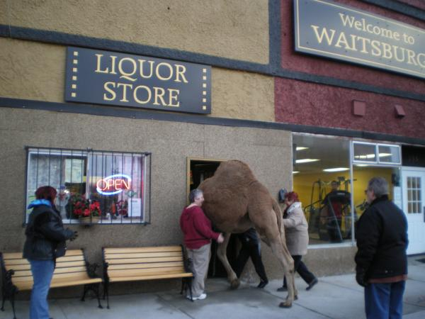 Izzy the Camel enters a liquor store...funny enough, this isn't the start of a joke. Izzy walks through downtown Waitsburg regularly.