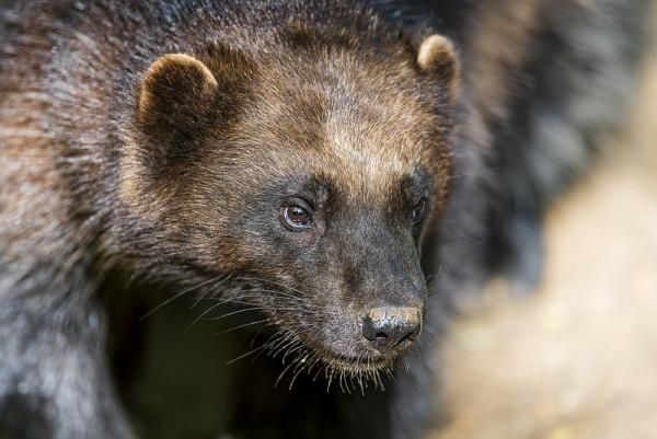 A close-up shot of a wolverine.