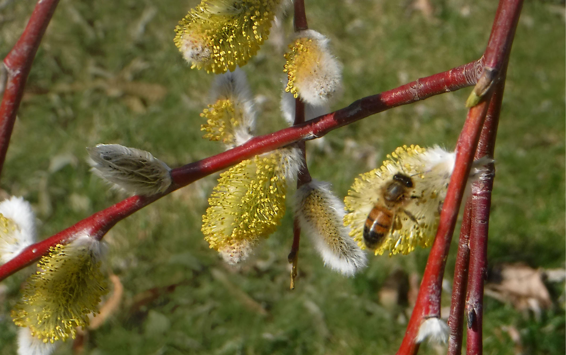 A honeybee on a male flower of a glaucous willow in March 2016