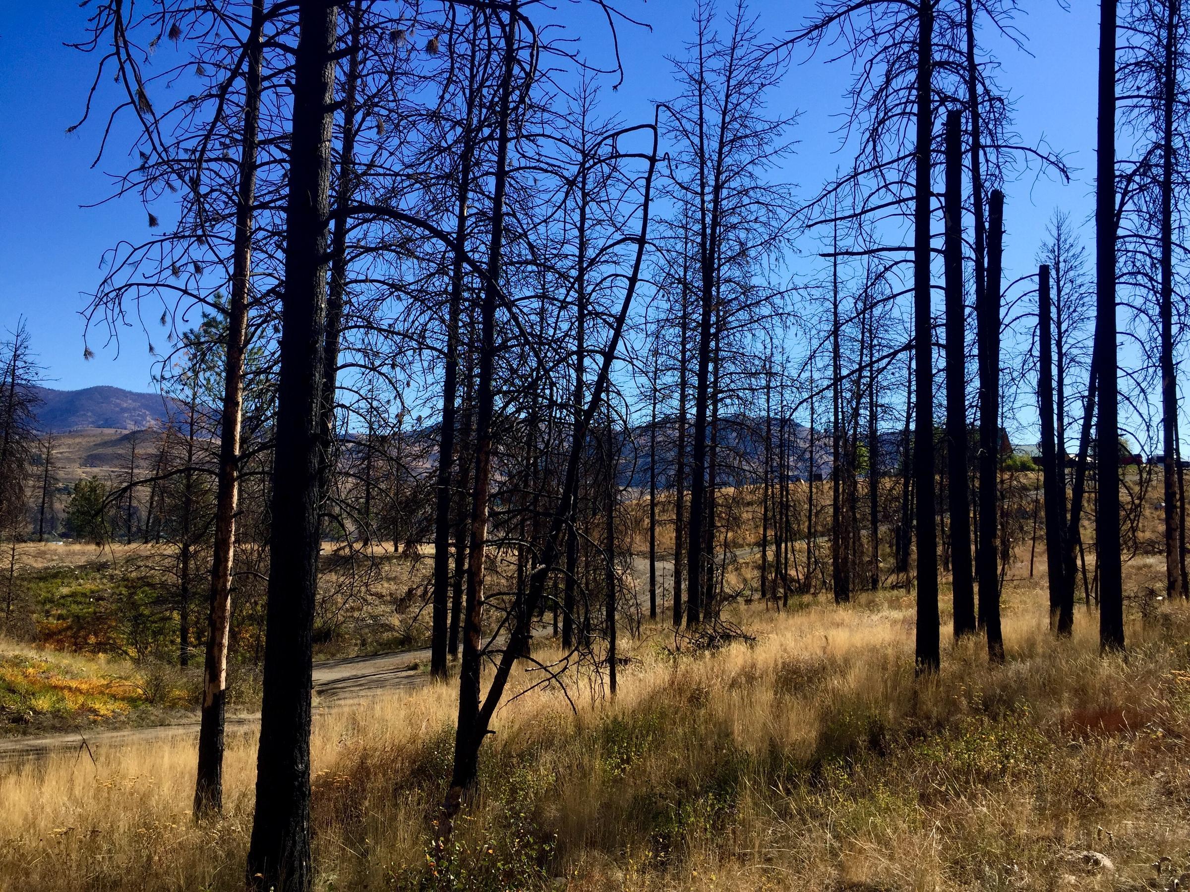 leaving behind burned trees for bird habitat northwest public radio