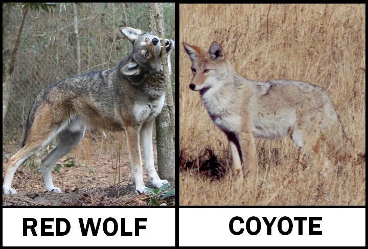 Red Wolf Deaths Prompt Investigation And State Court Case