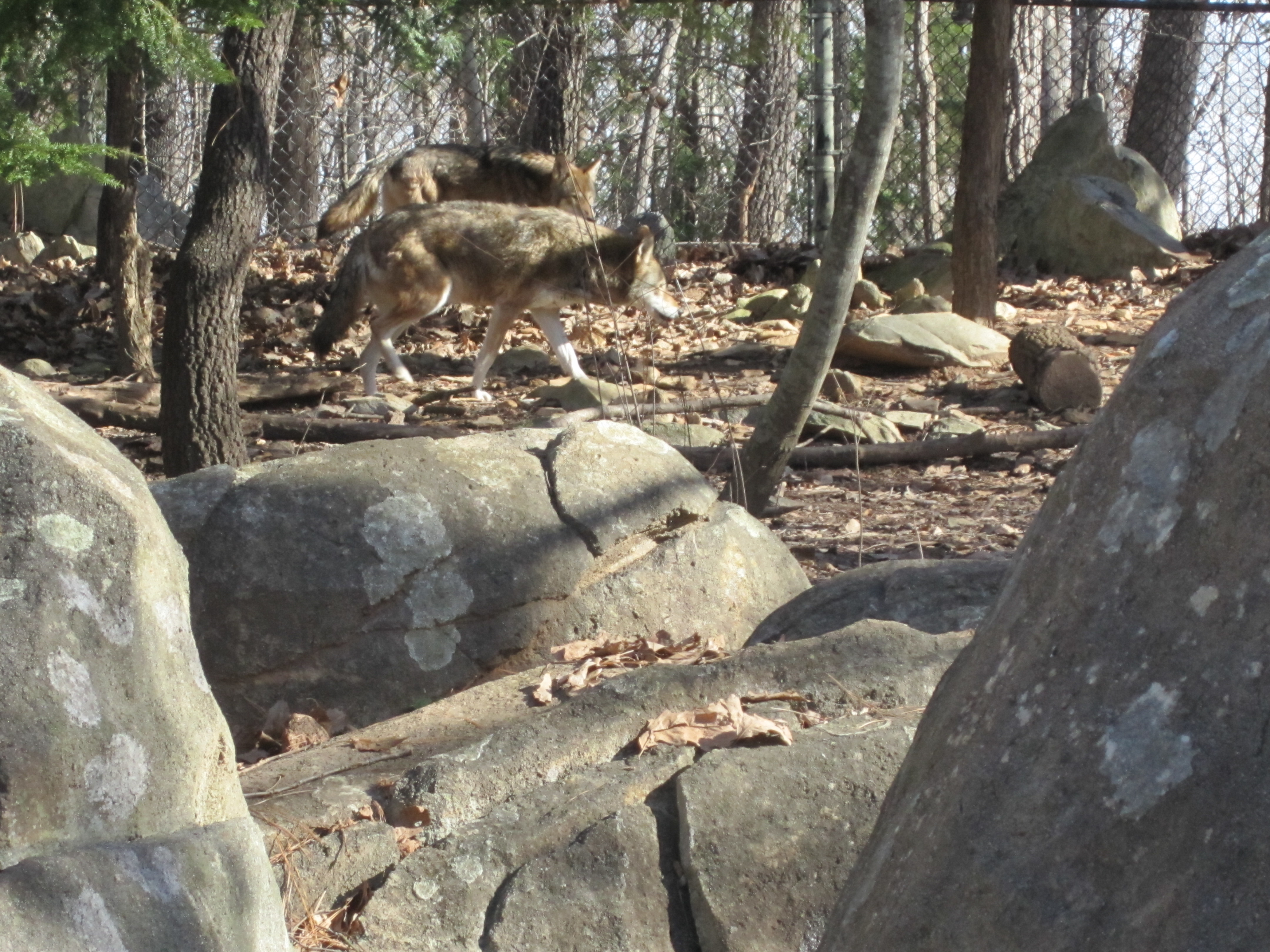 Red Wolf Recovery Program Under Review | Timber Wolf
