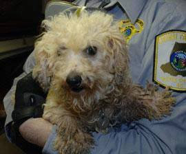 A poodle rescued from a North Carolina puppy mill.