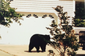 The black bear crossed the Neuse and then wandered into a nearby neighborhood.