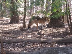 Endangered Red Wolf at the North Carolina Zoo