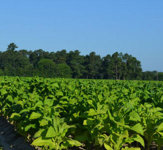 Growing tobacco in north carolina public radio east growing tobacco in north carolina sciox Image collections