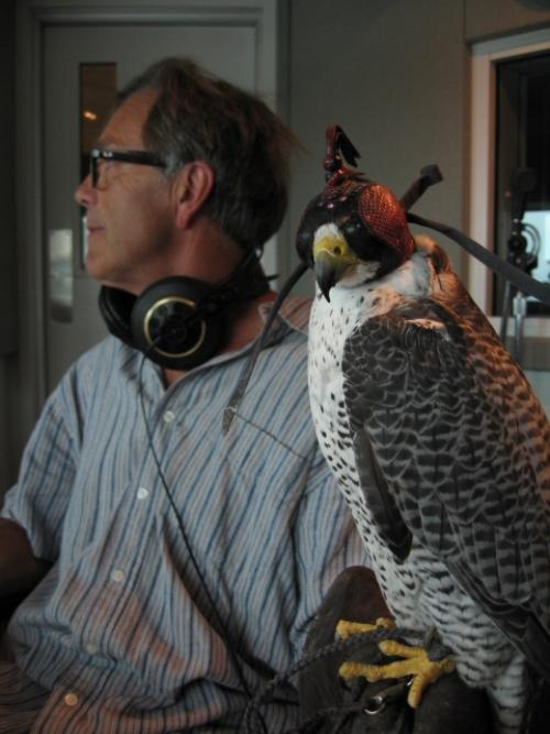 Jomo, Gyr/Peregrine falcon with Steve Chindgren, 2009