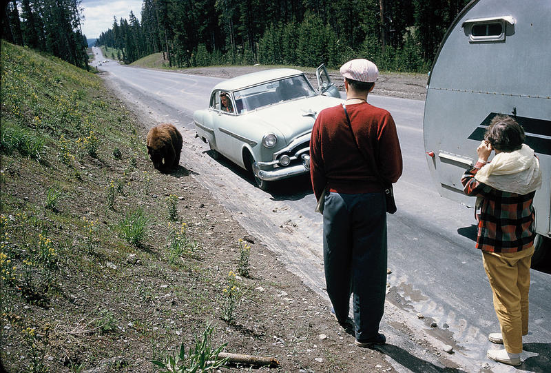 Tourists and a bear in Yellowstone in 1956.