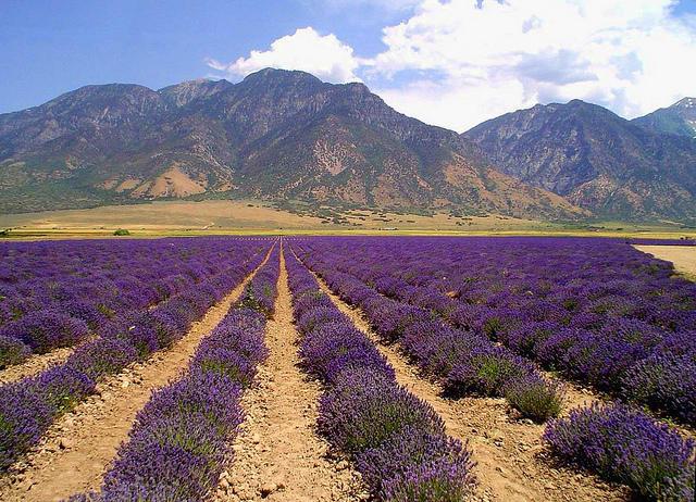 Young Living Lavender, Mona, Utah