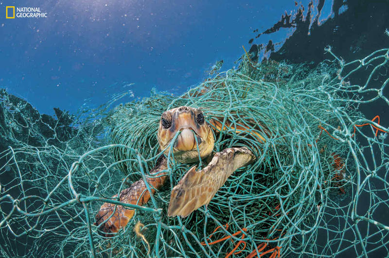 Sea turtle ensnared in plastic netting.