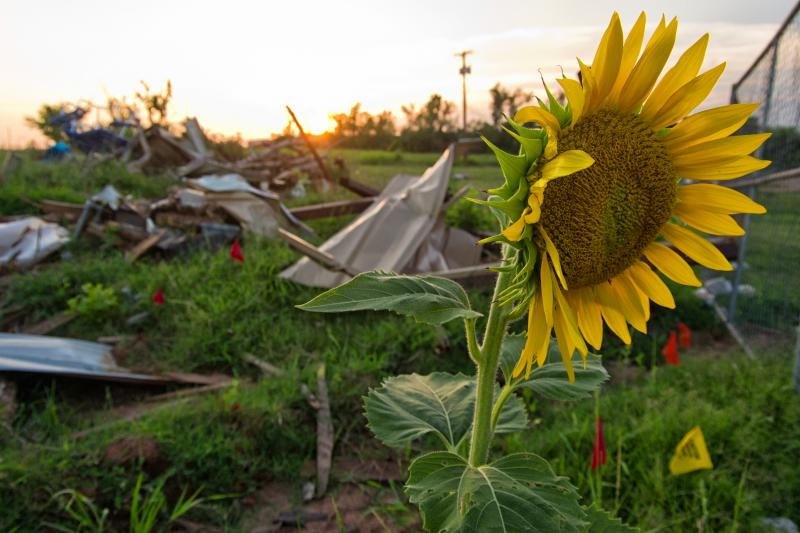 A sunflower grows in a field in Moore, Okla., months after the May 20 tornado.