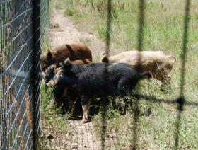 Feral hogs trapped at the LSU AgCenter Bob R. Jones Idlewild Research Station near Clinton are part of Glen Gentry's project on sodium nitrite tainted bait.