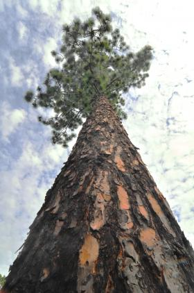 A look up the trunk of a mature longleaf pine on Longleaf Ridge Conservation Easement.