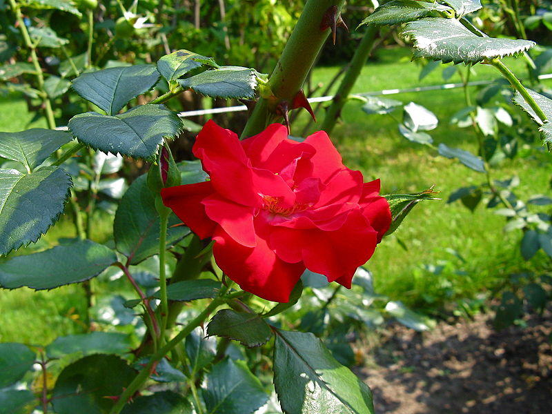 https://commons.wikimedia.org/wiki/File:Rosa_%27Parkdirektor_Riggers%27.jpg