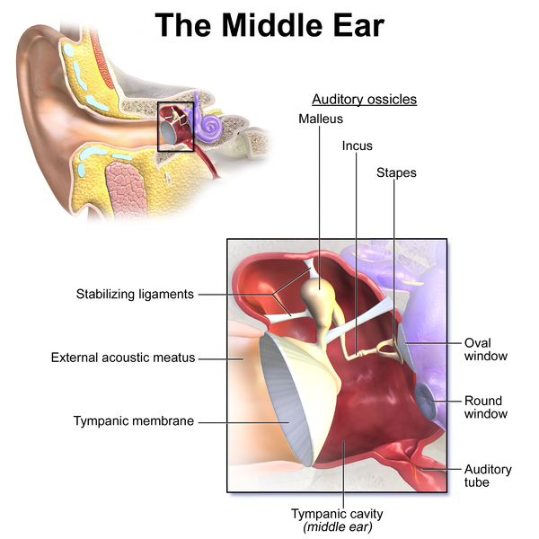 https://commons.wikimedia.org/wiki/File:Blausen_0330_EarAnatomy_MiddleEar.png