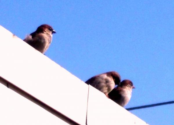 A House Sparrows or (aka English Sparrows)