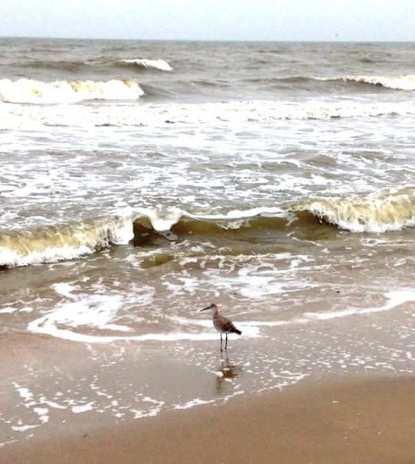 Willet photo submitted by Roy Blake