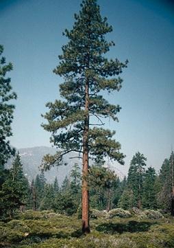 Ponderosa Pine Tree Images Ponderosa Pine Trees Being
