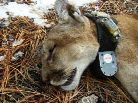 A tranquilized Black Hills mountain lion is about to wake up after being fitted with a radio tracking collar.