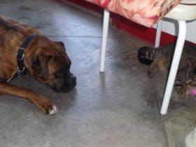 Sally, the boxer, endures socialization lessons with a cat