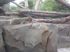 Snow Monkey sunning on a rock