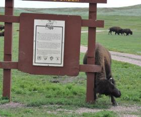 Bison cow addresses an itch at Wind Cave National Park.