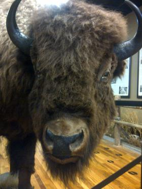 Bruno welcomes visitors at the Museum of the American Bison in Rapid City.
