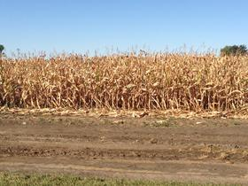 Corn stalks ready for harvest near Worthing.