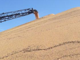 Soybeans pile up at Worthing Ag Grain.