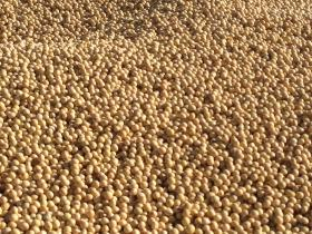 Soybeans harvested in SE South Dakota in October 2013.