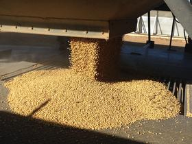 Farmers drop off harvested soybeans at area grain elevators.