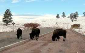 Bison at South Entrance of Wind Cave National Park