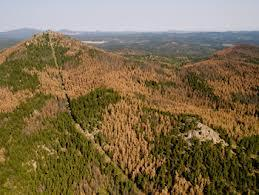 Black Hills Pine Trees Devastated By Pine Beetles