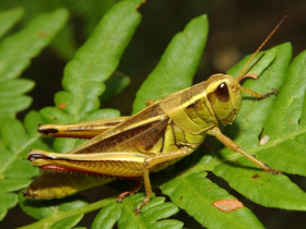 This Two Stripped Grasshopper is considered to be among the more troubling species in South Dakota.  It favors to eat crops rather than grass.   Officials with SDSU State Extension say the state is home to some 70 species of grasshoppers.