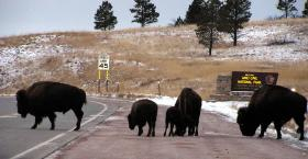 Wind Cave - and the buffalo that populate the area - both play a role in the Lakota creation story.