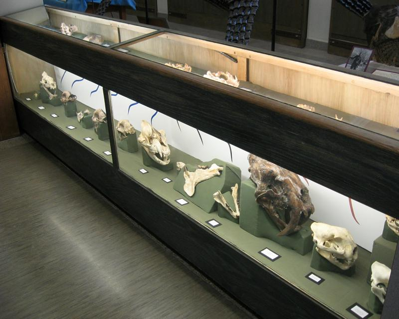 This case in the Museum of Geology contains fossils of Nimravids and related creatures.