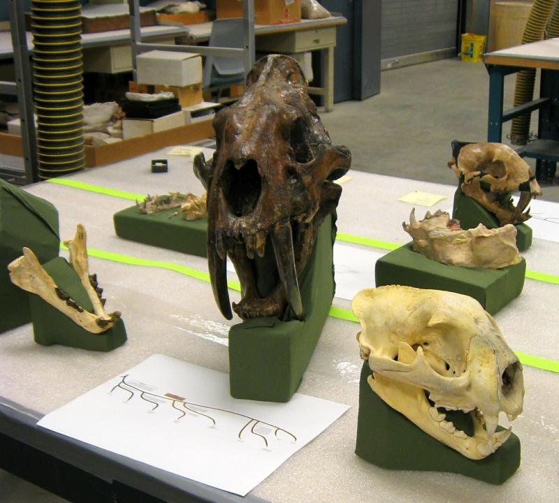 Some of the fossils before they're moved to the Museum of Geology. At center is the skull of a Smilodon, a true saber-toothed cat. Nimravids, which lived long before saber-toothed cats, are distantly related but are not true cats.