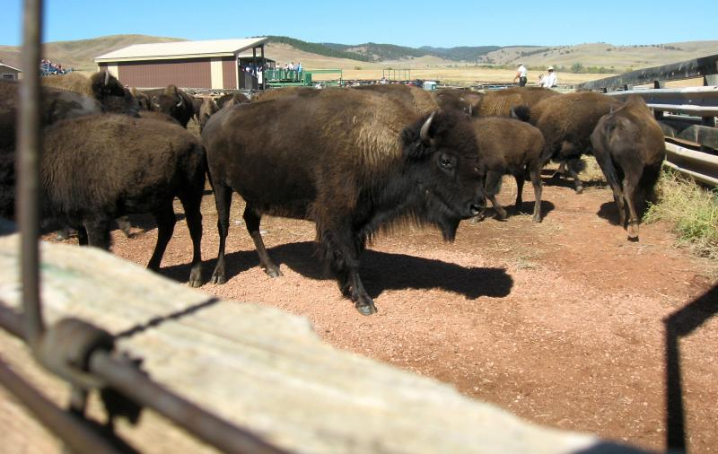 Unless you're a rider, this is as close as you'll get to a bison at the roundup. These animals are in the pens.