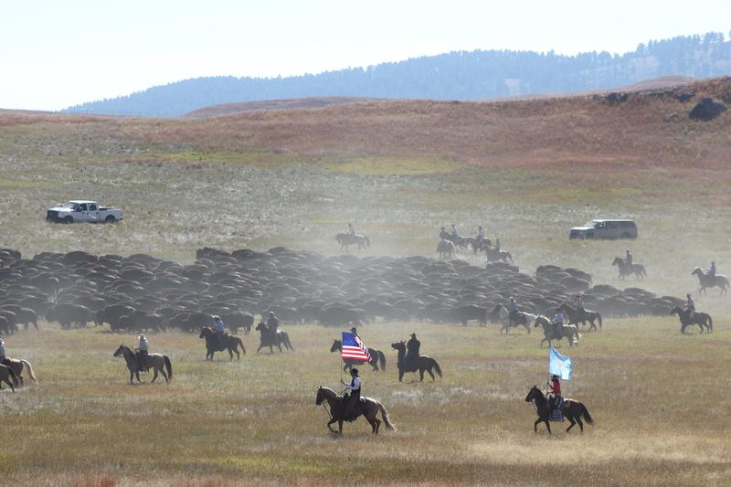 The 2015 Custer State Park Buffalo Round Up
