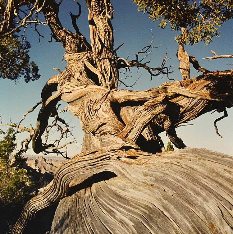 One of thousands of photos taken of this Badlands cedar tree by Earl Brockelsby over decades