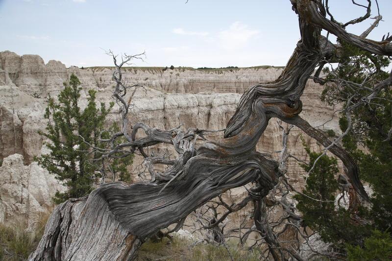 Badlands cedar tree