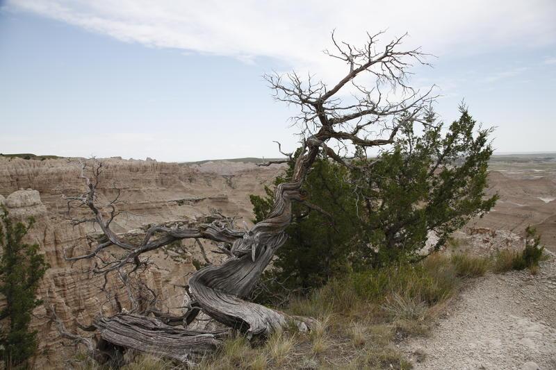 Earl Brocklsby's favorite cedar tree in 2016