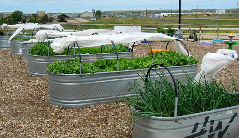 Stock tanks are used as container gardens. The fourth one from the right isn't producing, and Ferley and Anderson are experimenting with soil amendments to fix the problem.