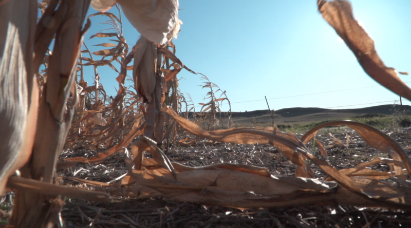 dry corn stalks